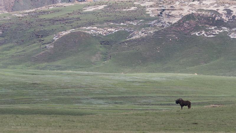 Black Wildebeest, Goldengate NP, FS, SA, Oct 2016-1.jpg