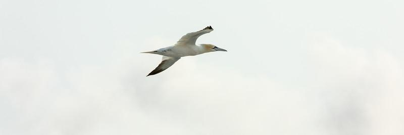 Gannet (Basstölpel)