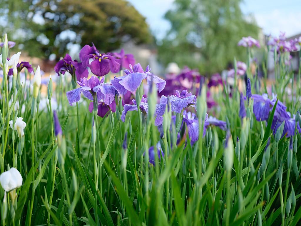 Irises at Horokiri Shobukoen Garden
