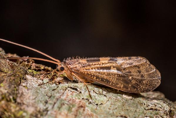 Oeconesus similis