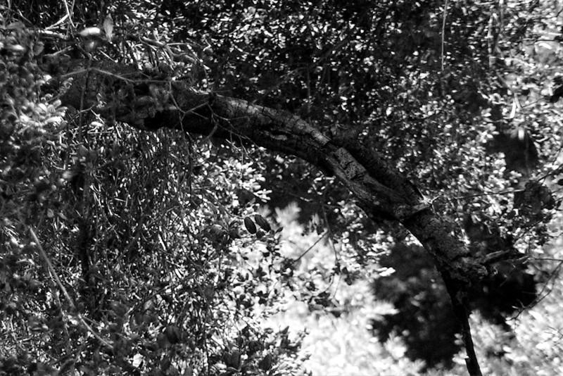 040626-006BW (Treescape).jpg