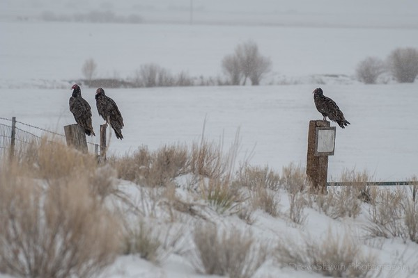 Buffalo winter