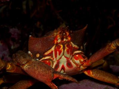 Pugettia producta (northern kelp crab)