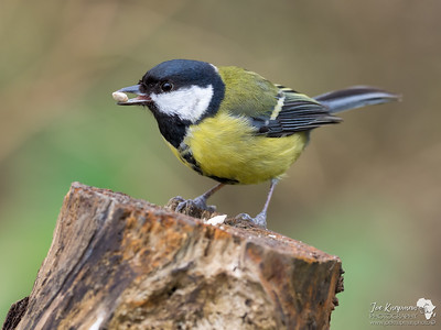 Great Tit With His Prize