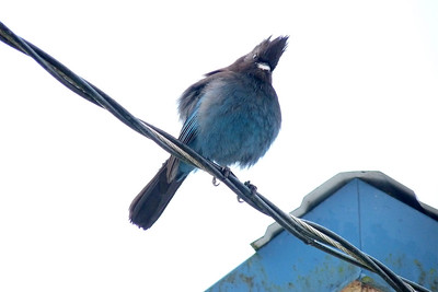 DAY 20 - January 20, 2011 - Steller's Jay with Personality Cynthia Meyer, Tenakee Springs, Alaska