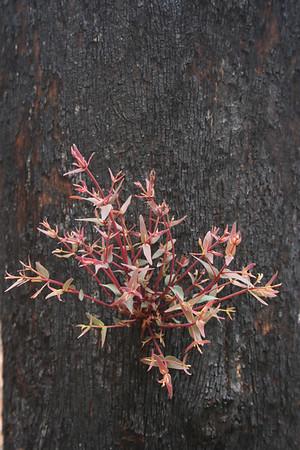 Metamorphosis of Australian bushland following wildfires, Victoria ,Jan  07