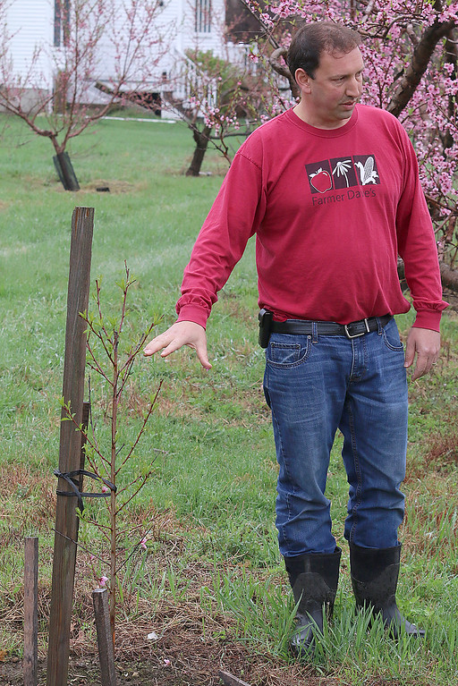 . Dave Dumaresq with Farmer Dave\'s talks about the peaches at Hill Orchard in Westford, which he helps run, on Wednesday, April 26, 2017. This tree was planted last year and is the start of a new set of trees for the farm. Farmers were pleasantly surprised to see blossoms on their peach trees this year after last year\'s crop failure in the state due to the harsh winter. SUN/JOHN LOVE