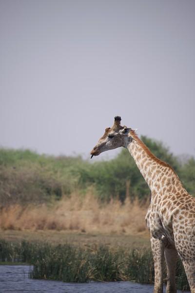 Giraffes at watering hole, Selinda Explorer camp, Botswana