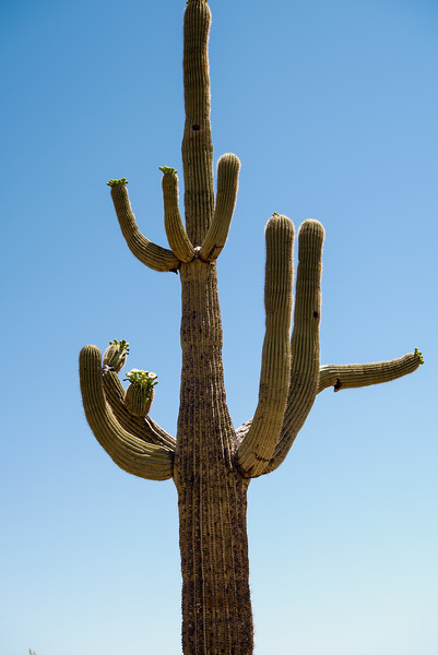 Multi armed Saguaro Cactus