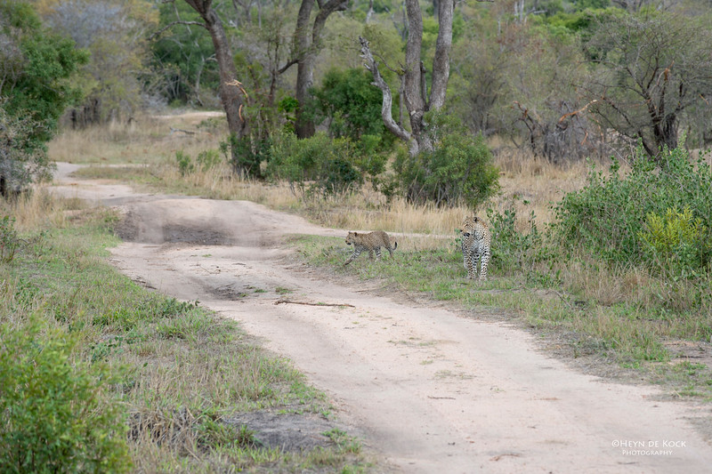 Leopard (Salayexe & cub), Sabi Sands (EP), SA, Sept 2015-1.jpg