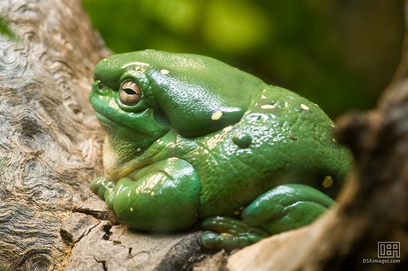 Splendid Tree Frog (Litoria splendida)