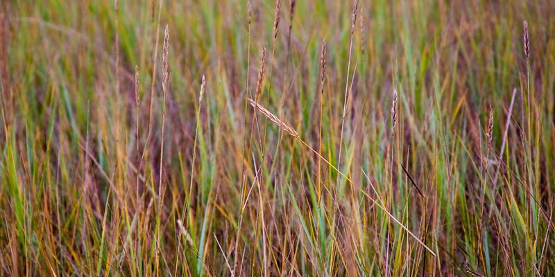 Multicolor Cape Grass.jpg