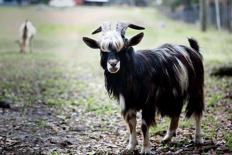 Goat with Bangs