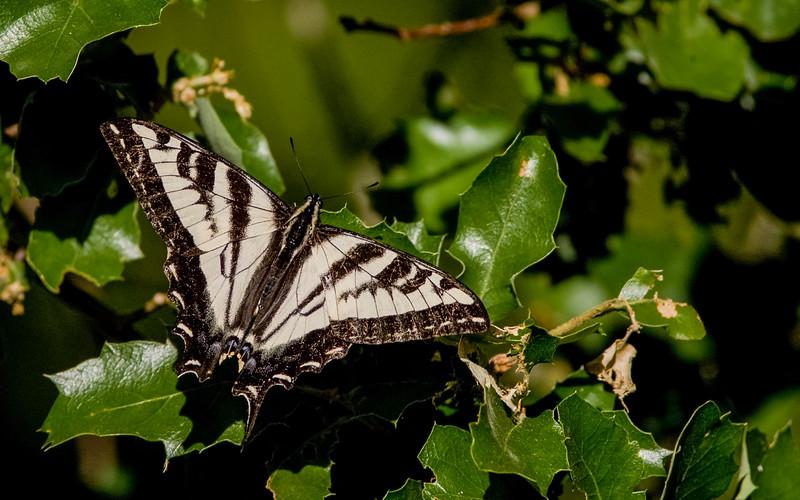 PaleSwallowtail0.jpg