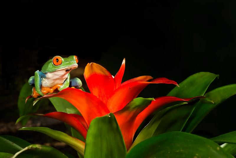 Red-eyed Tree Frog on Bromeliad