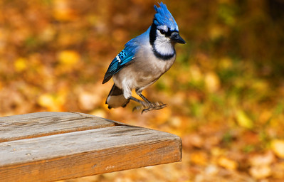 Blue Jay  Taken October 9, 2011 Elk Island Retreat Near Fort Saskatchewan, Alberta