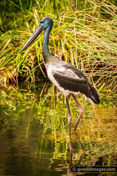 Black-necked Stork Reflections