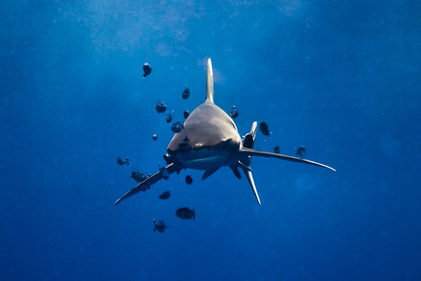 Marsa Alam - Elphinstone Longimanus (Oceanics)