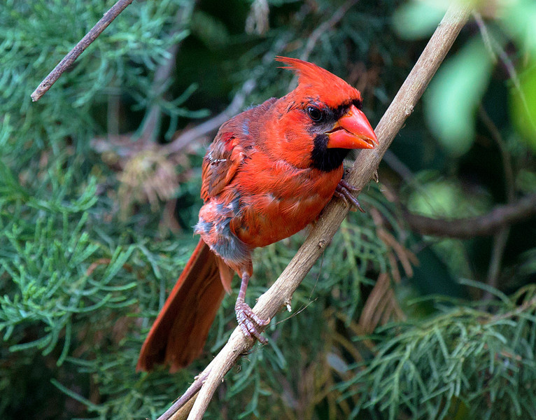 This juvenile Cardinal has almost reached its full color.