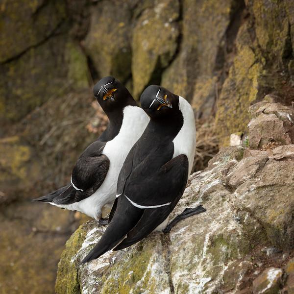 Razorbills courting