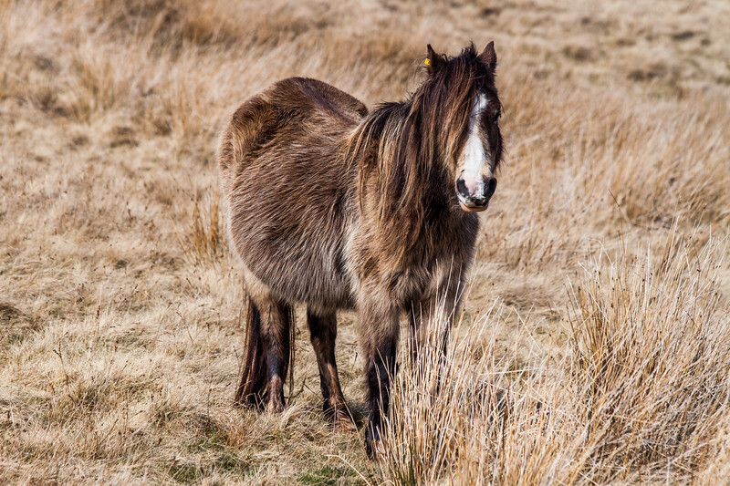 Wild welsh ponies of the Brecon Beacons-8.jpg