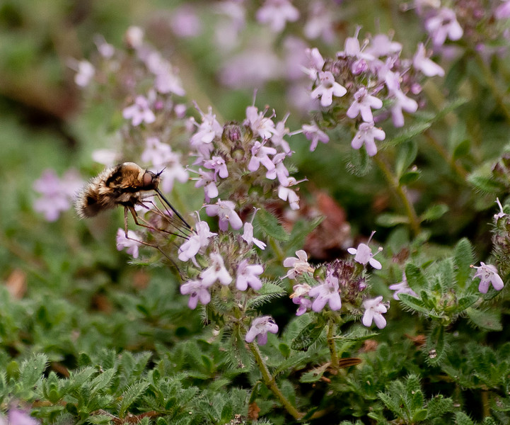 bee-fly-on-wooly-thyme-_igp8649_16816690198_o.jpg