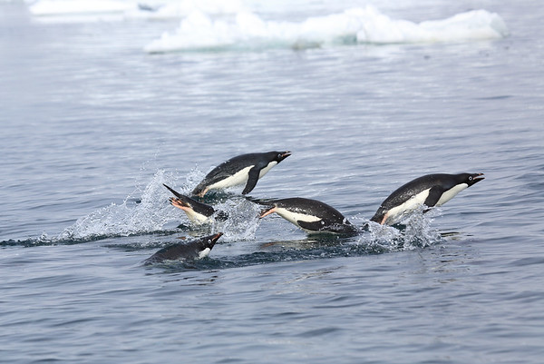 Flying Penguins Antarctic