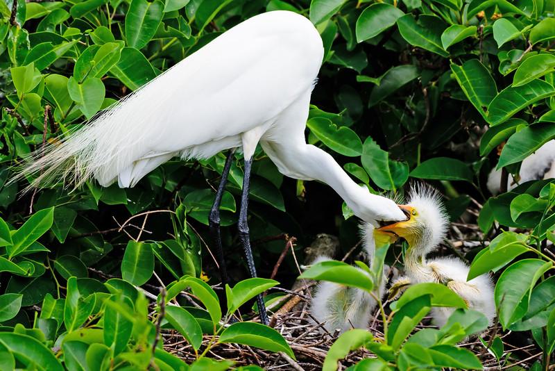 Great Egret Feeding