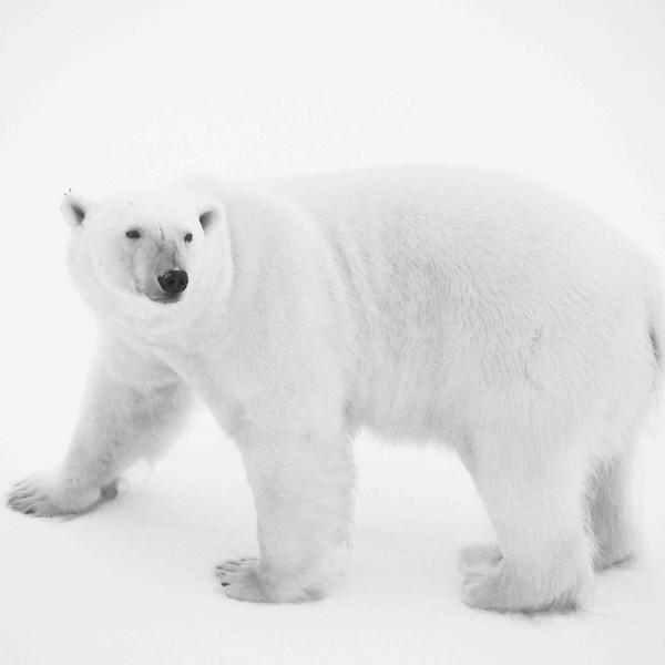 Ours blanc 9 Ursus maritimus-Svalbard_océan Arctique.JPG