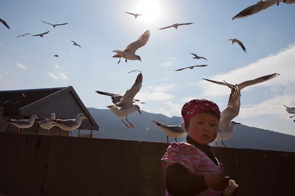 Gulls of Kunming