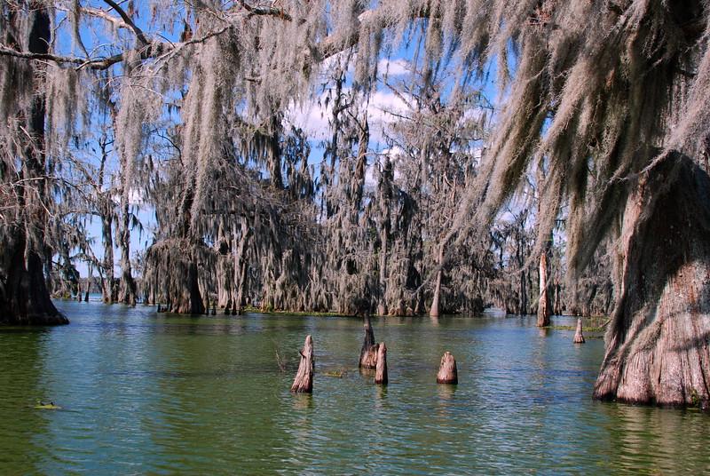 Cypress Knees - Lake Martin, Louisiana