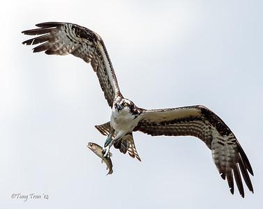 Osprey 3-27-14