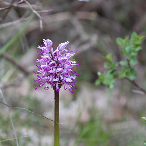 but de st genix, orchis simia, aapjesorchis