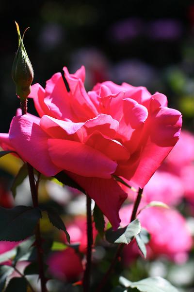 Portland International Rose Test Garden  2243.jpg