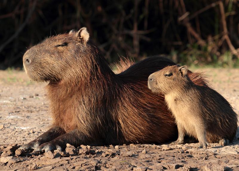 Capybaras, Pantanal, Brazil