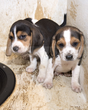 N-T Beagles new pups 8-24-18