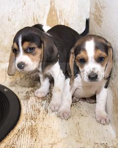 N-T Beagles new pups 8-24-18
