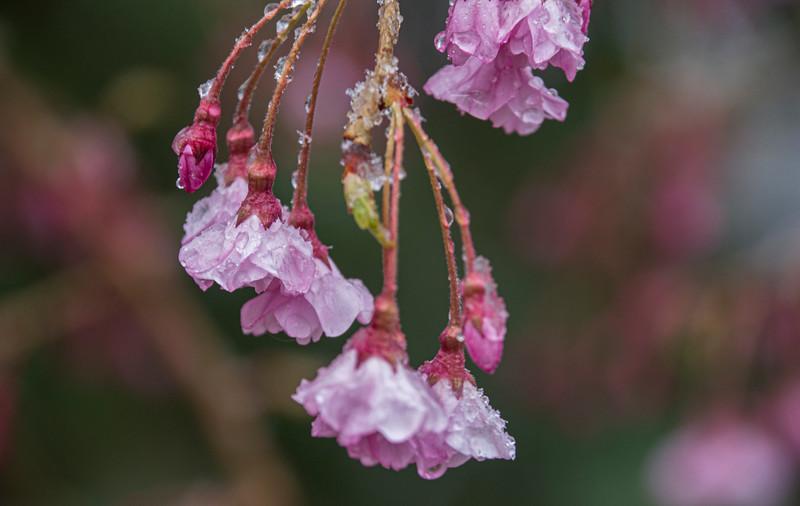 Cold-pear-flowers-1489BeechnutApril15.jpg