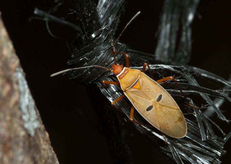 True bug, possibly a leatherbug (Coreoidea) from Costa Rica.