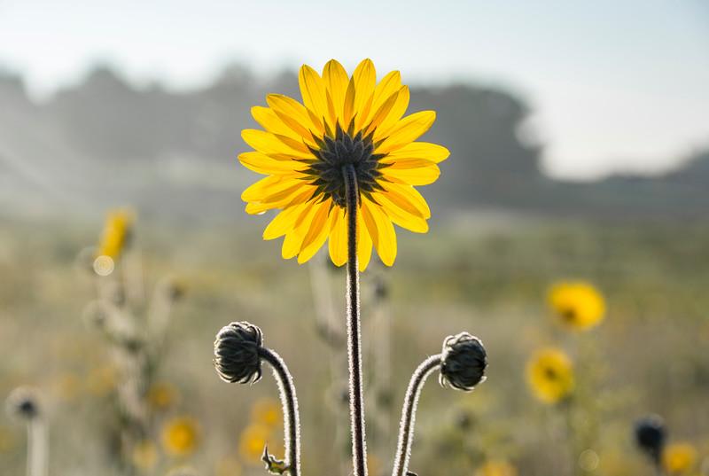 Sunflower-sunrise-boetler-park.jpg