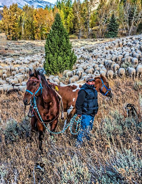 009.Max Burke.1.Herding with Sheep having breakfast.AS.jpg