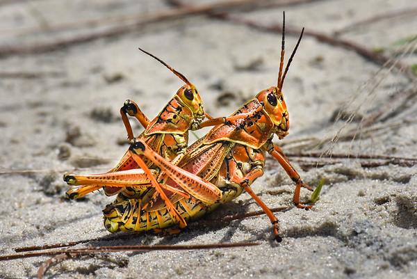 Orthoptera - Crickets, Grasshoppers, Katydids, Locusts