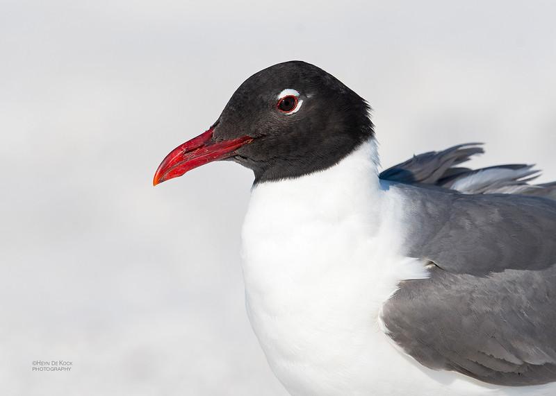 Laughing Gull, Fort De Soto, St Petersburg, FL, USA, May 2018-4.jpg