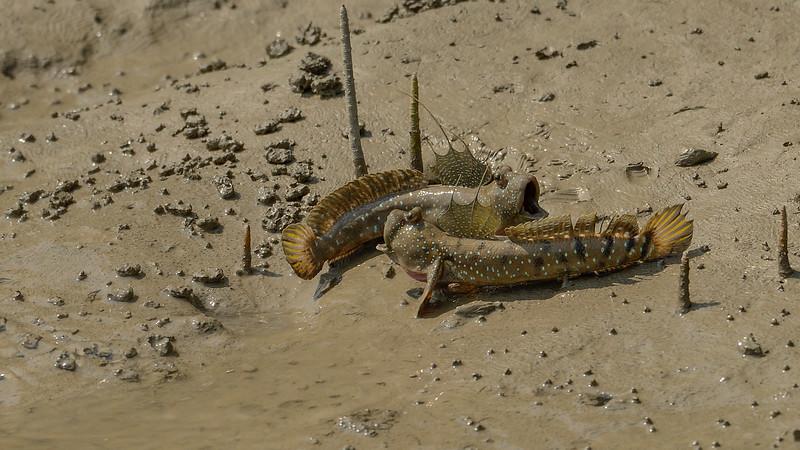 Mudskippers-fighting-sundarbans-2.jpg