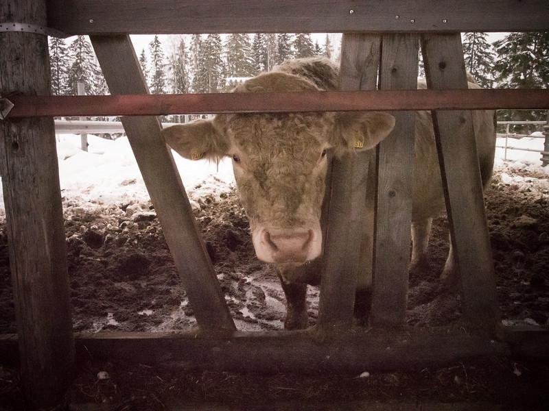 porvoo bull.jpg