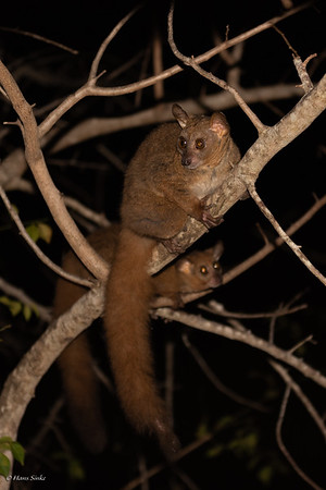 Galago, Pangani Small-eared