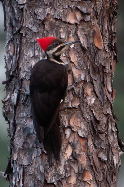 Woodpecker - Pileated - female - Apalachicola National Forest - Sumatra, FL