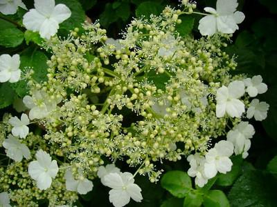 Hydrangea anomala 'Petiolaris'  .jpg