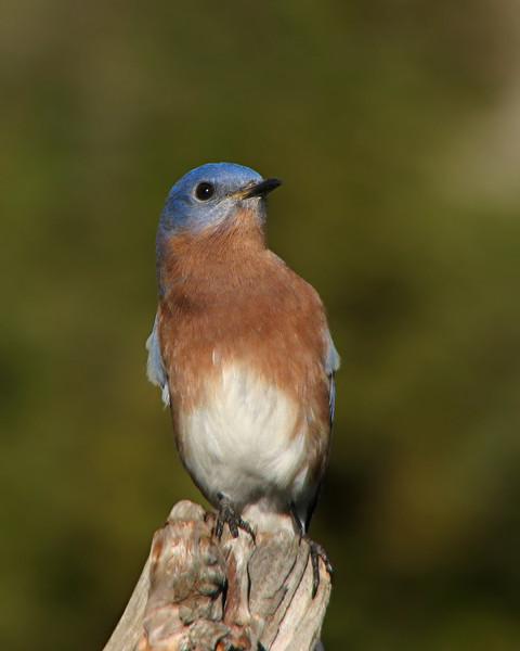 bluebird_6869.jpg