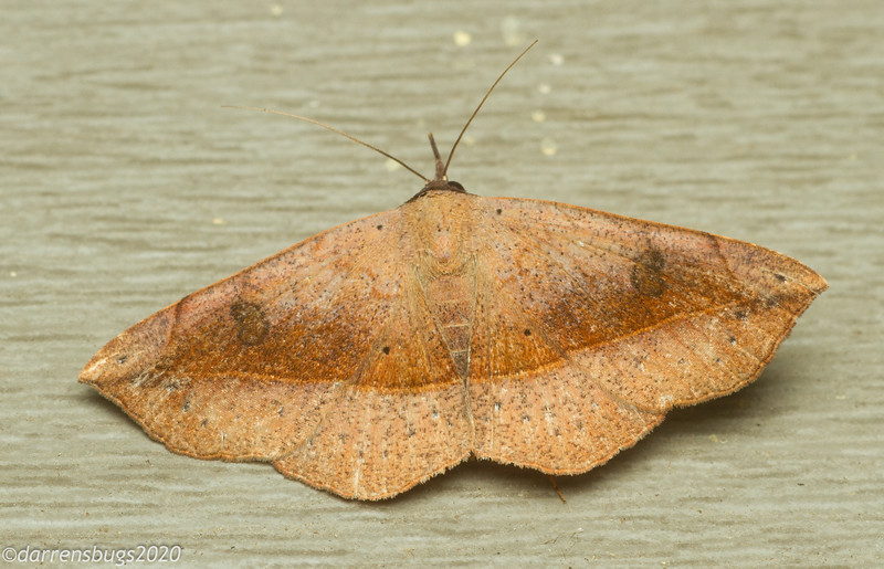 Variable Metallata Moth, Metallata absumens (Erebidae).